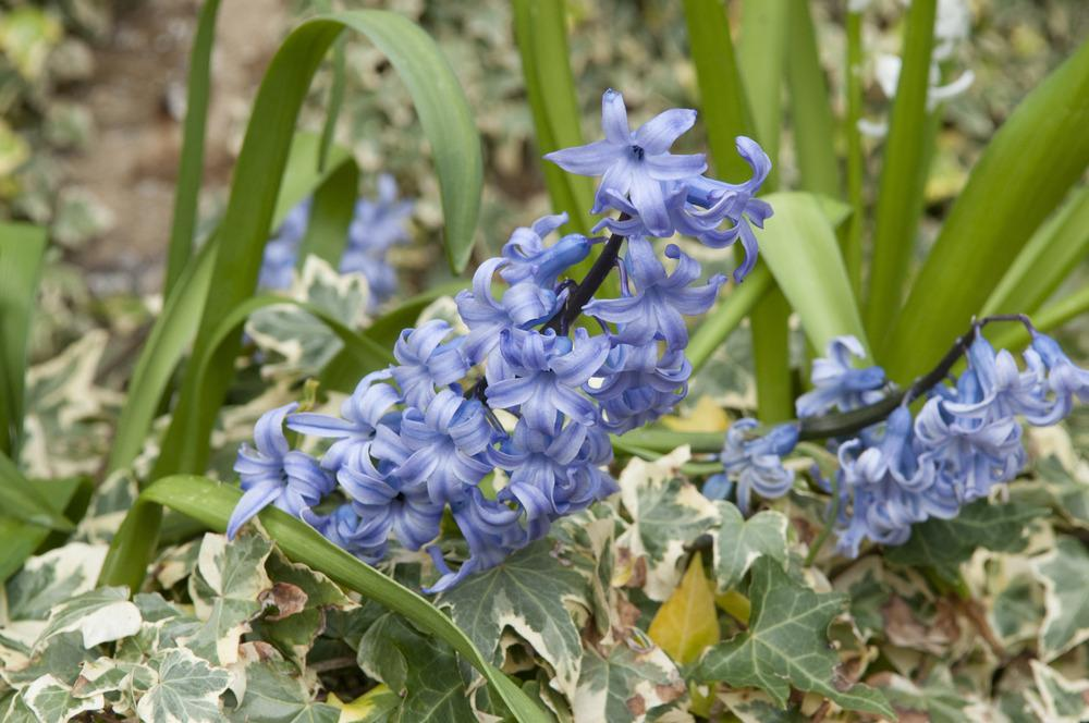 Photo of Hyacinths (Hyacinthus) uploaded by cliftoncat