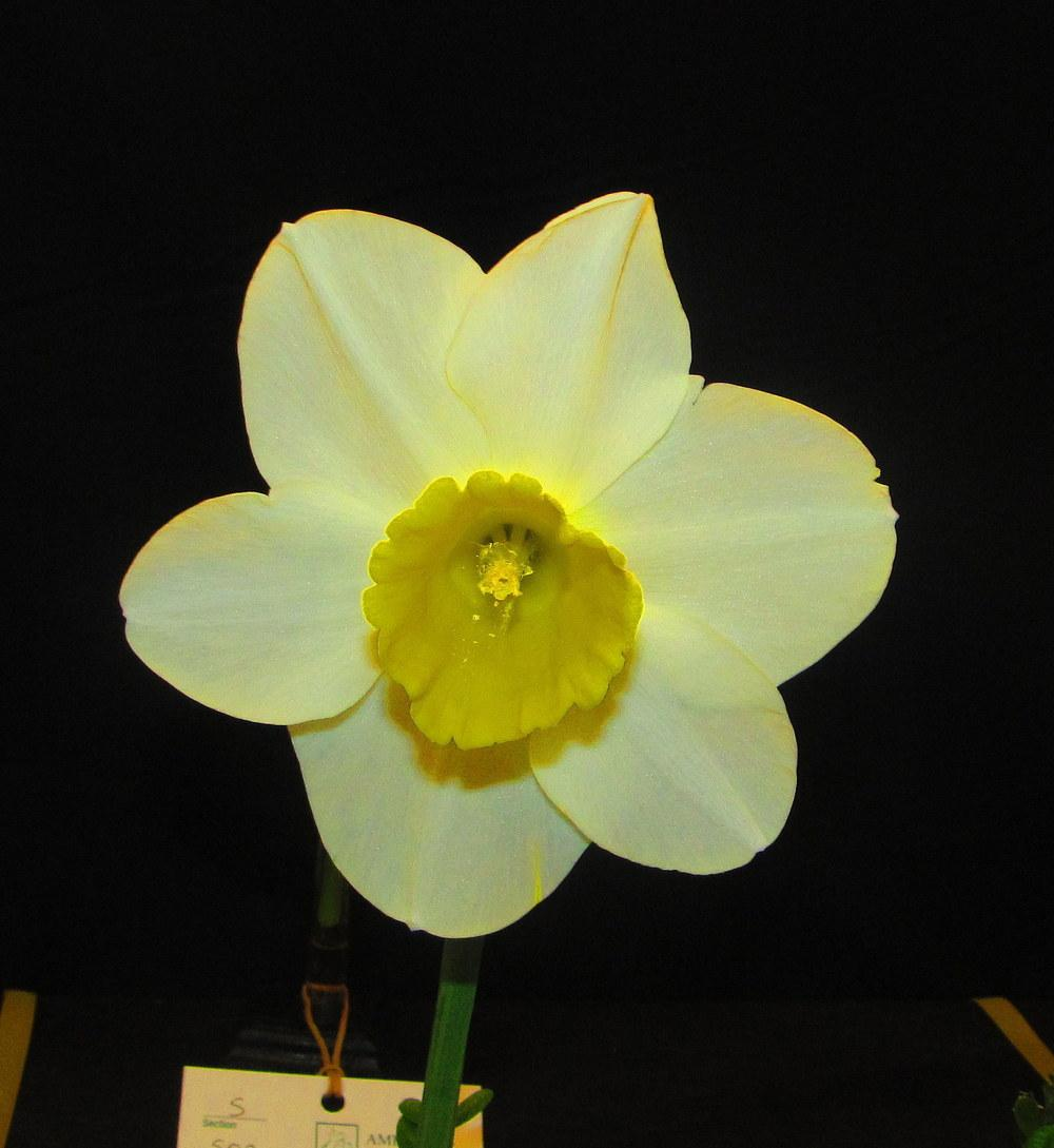 Photo of Large-Cupped Daffodil (Narcissus 'Merels Favourite') uploaded by jmorth