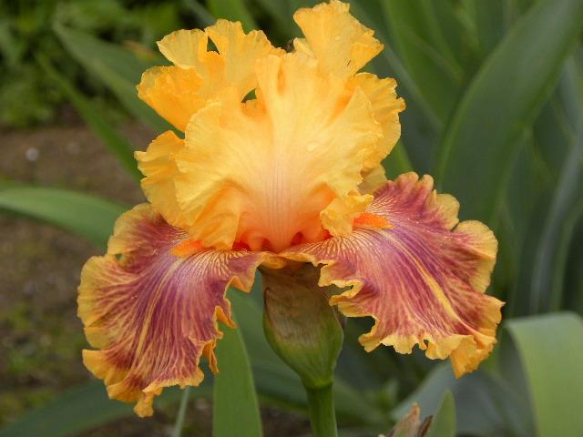 Photo of Tall Bearded Iris (Iris 'Bottle Rocket') uploaded by SassyCat