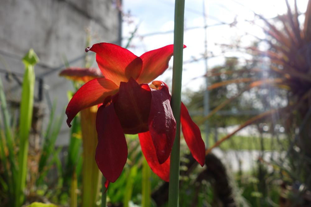 Photo of White Pitcher Plant (Sarracenia leucophylla) uploaded by mellielong