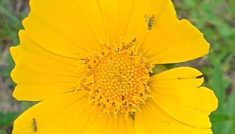 Photo of Lanceleaf Coreopsis (Coreopsis lanceolata) uploaded by flaflwrgrl
