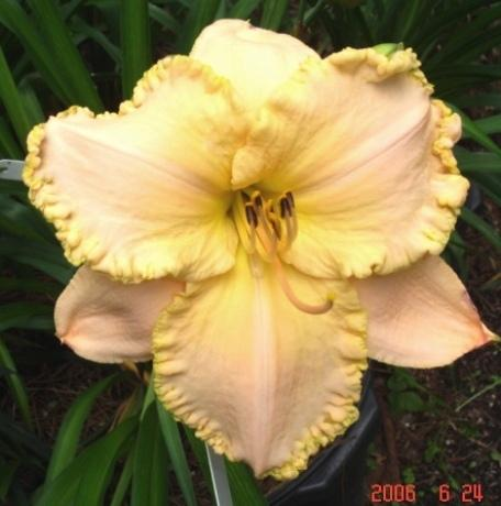 Photo of Daylily (Hemerocallis 'Pearl Harbor') uploaded by Sscape
