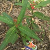 Location: DFW, Texas (zone 8)Date: 2016-04-14Tropical milkweed with flower buds