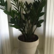 Location: DFW, Texas (zone 8)Date: 2016-04-14Indoors in part shade