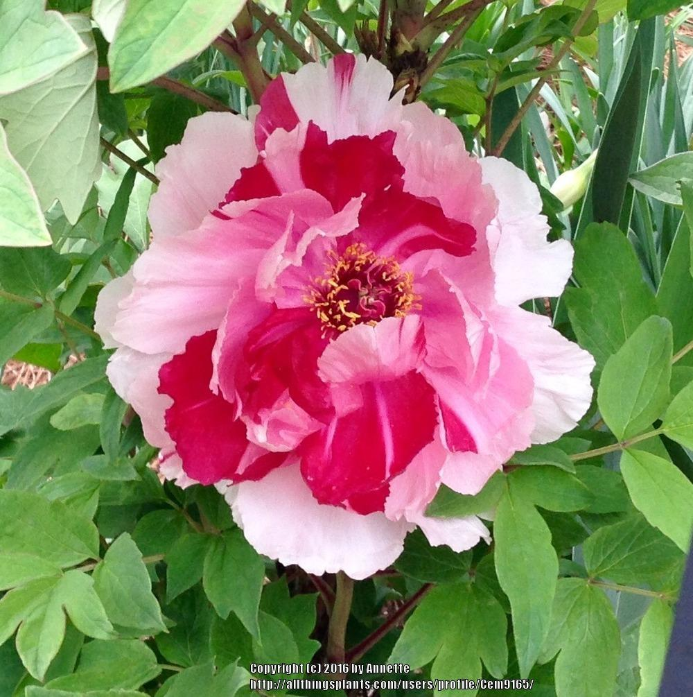 Photo of Tree Peony (Paeonia x suffruticosa 'Shima-nishiki') uploaded by Cem9165
