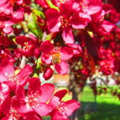 Location: central IllinoisDate: 2016-04-14Flowering Crabapple