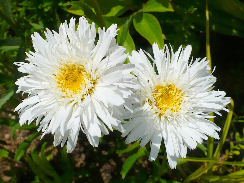 Shasta Daisy bloom