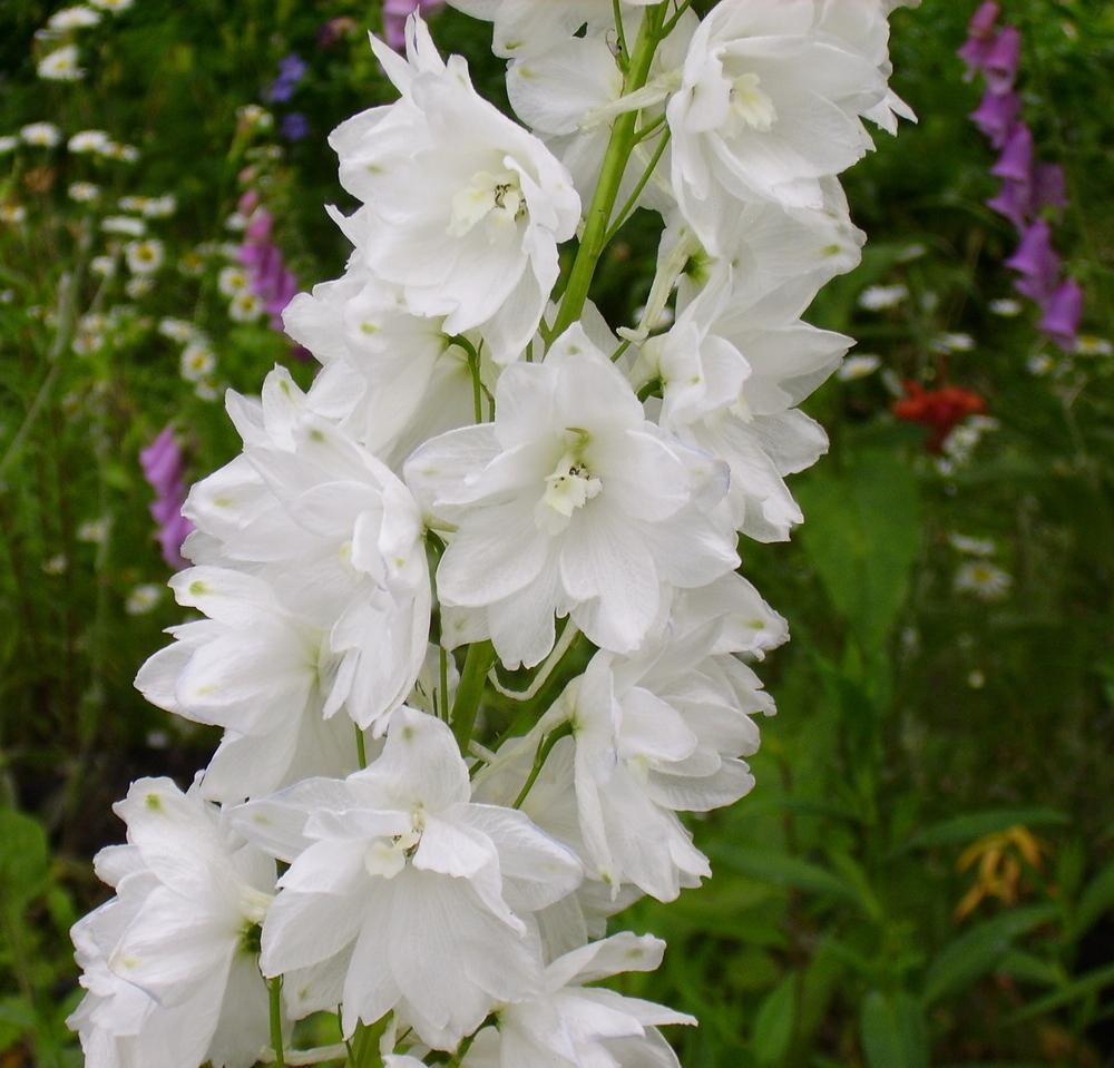 Delphiniums Plant Care And Collection Of Varieties Garden