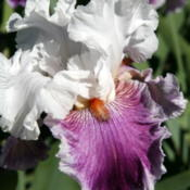 Location: At Napa Iris GardensDate: 2016-04-16