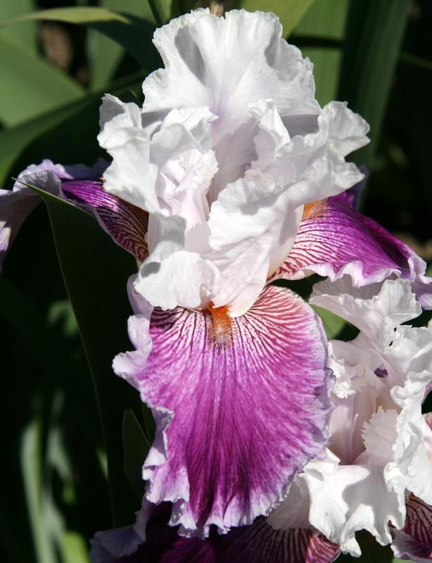 Photo of Tall Bearded Iris (Iris 'Gracious Curves') uploaded by Calif_Sue