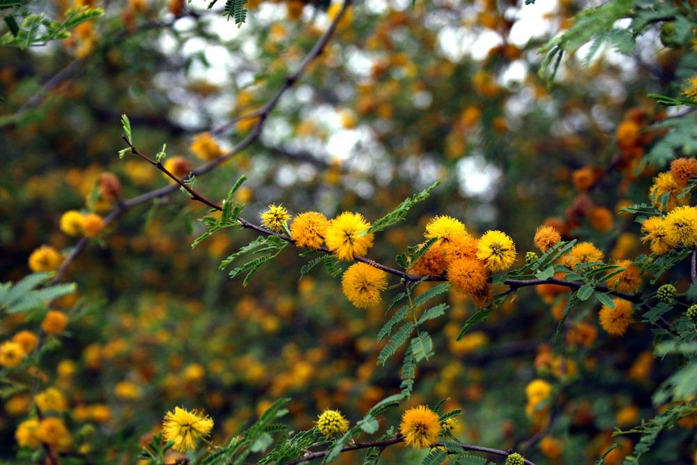 Photo Of The Bloom Of Texas Huisache Acacia Smallii Posted By