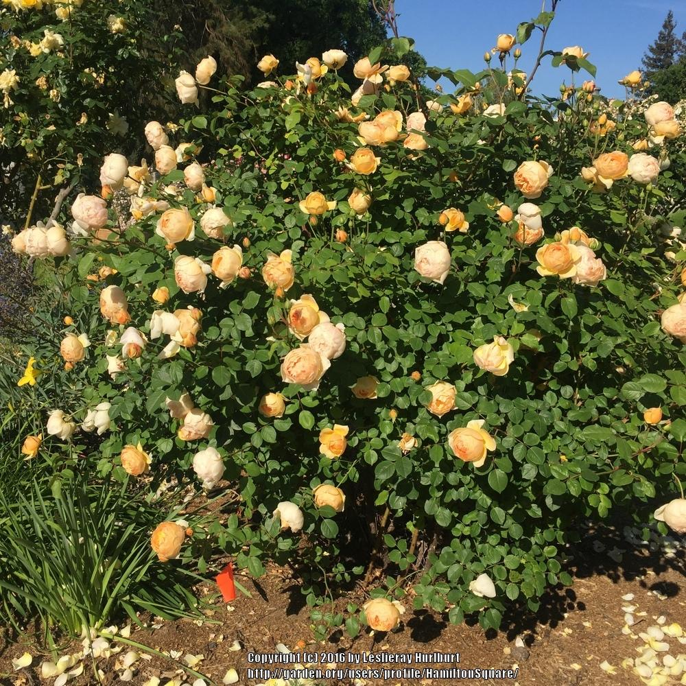 Photo of Rose (Rosa 'Jude the Obscure') uploaded by HamiltonSquare