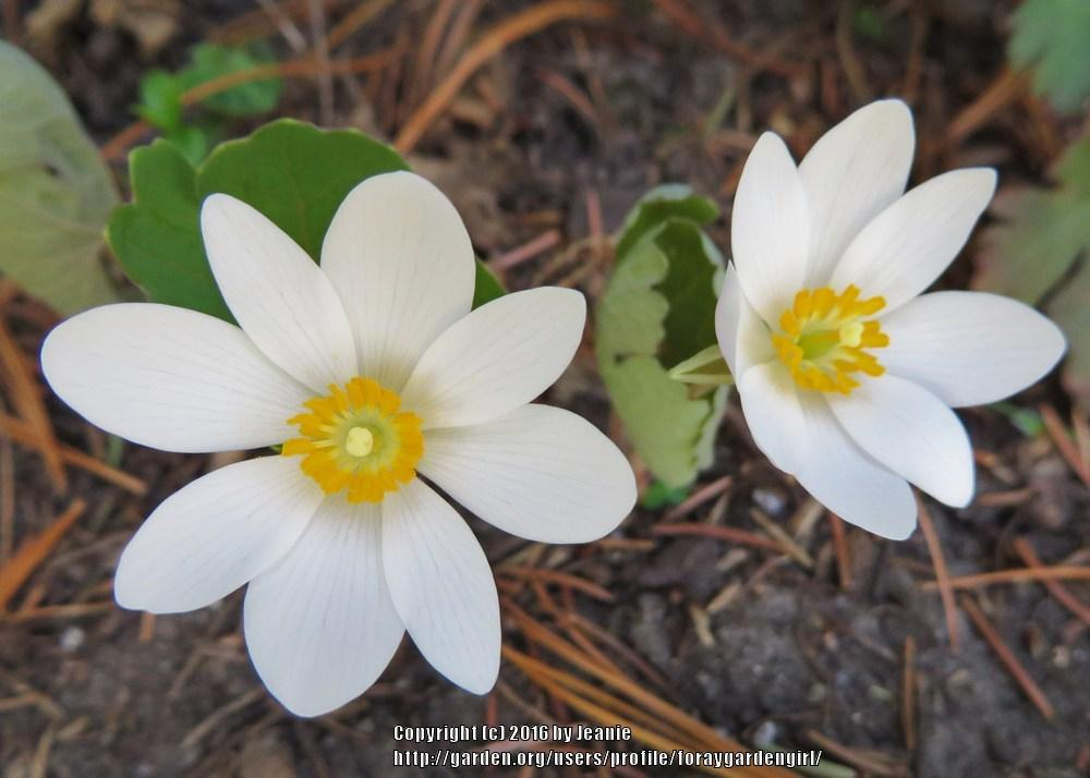 Photo of Bloodroot (Sanguinaria canadensis) uploaded by foraygardengirl