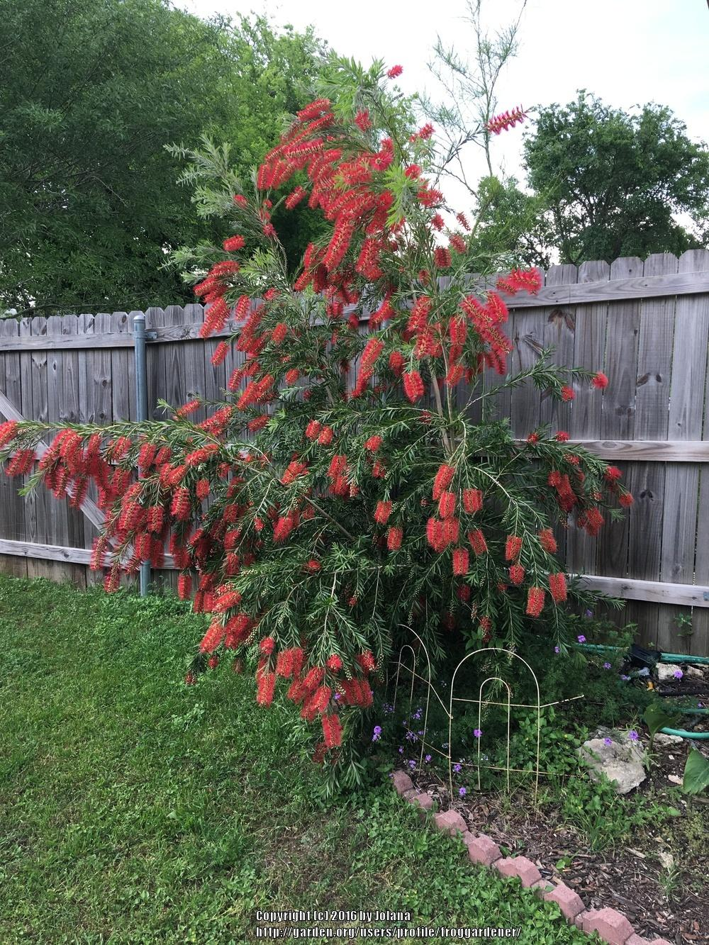 photo of the entire plant of weeping bottle brush