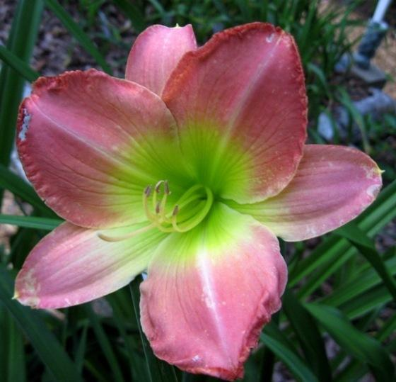 Photo of Daylily (Hemerocallis 'Pink Fanfare') uploaded by Sscape