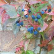 Location: my garden - Chicagoland areaDate: Early OctoberCloseup of berries
