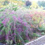 Location: my garden -Chicagoland areaDate: late October'Gibralter' pares nicely with fall foliage