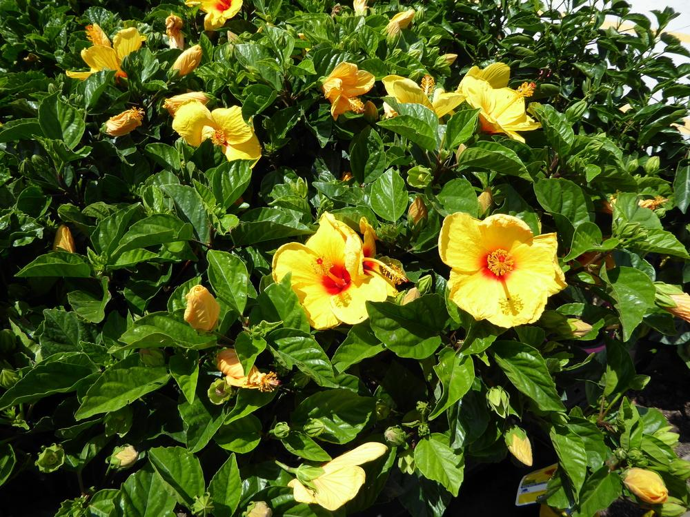 Hibiscus forum: Help for Plant Database - Garden org