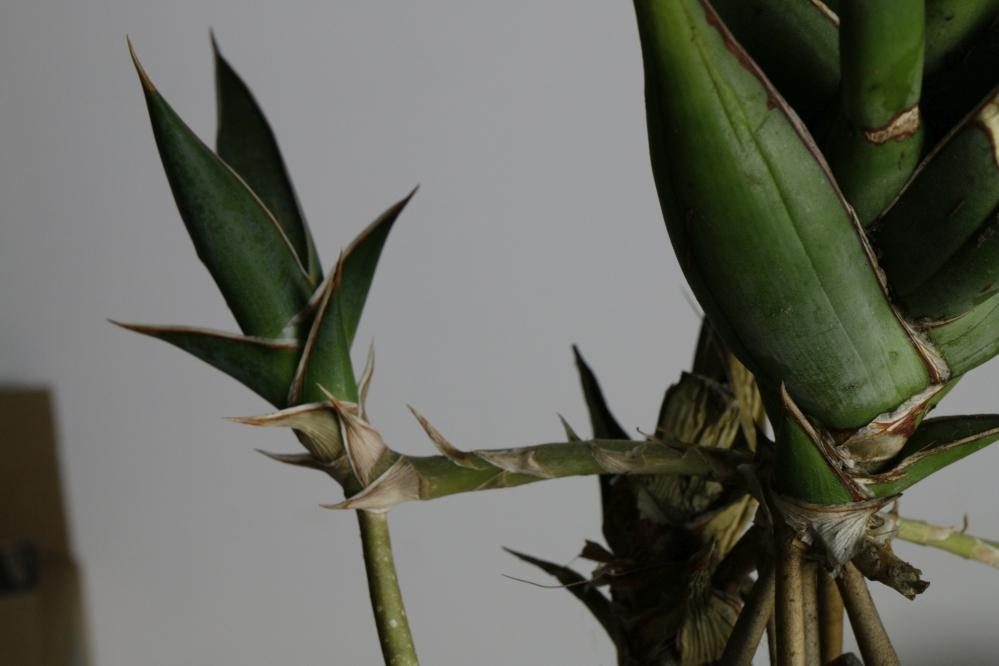 Photo of Sansevieria (Sansevieria pinguicula) uploaded by gasrocks
