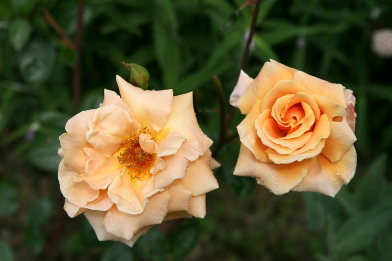 Photo of Rose (Rosa 'Royal Sunset') uploaded by Calif_Sue