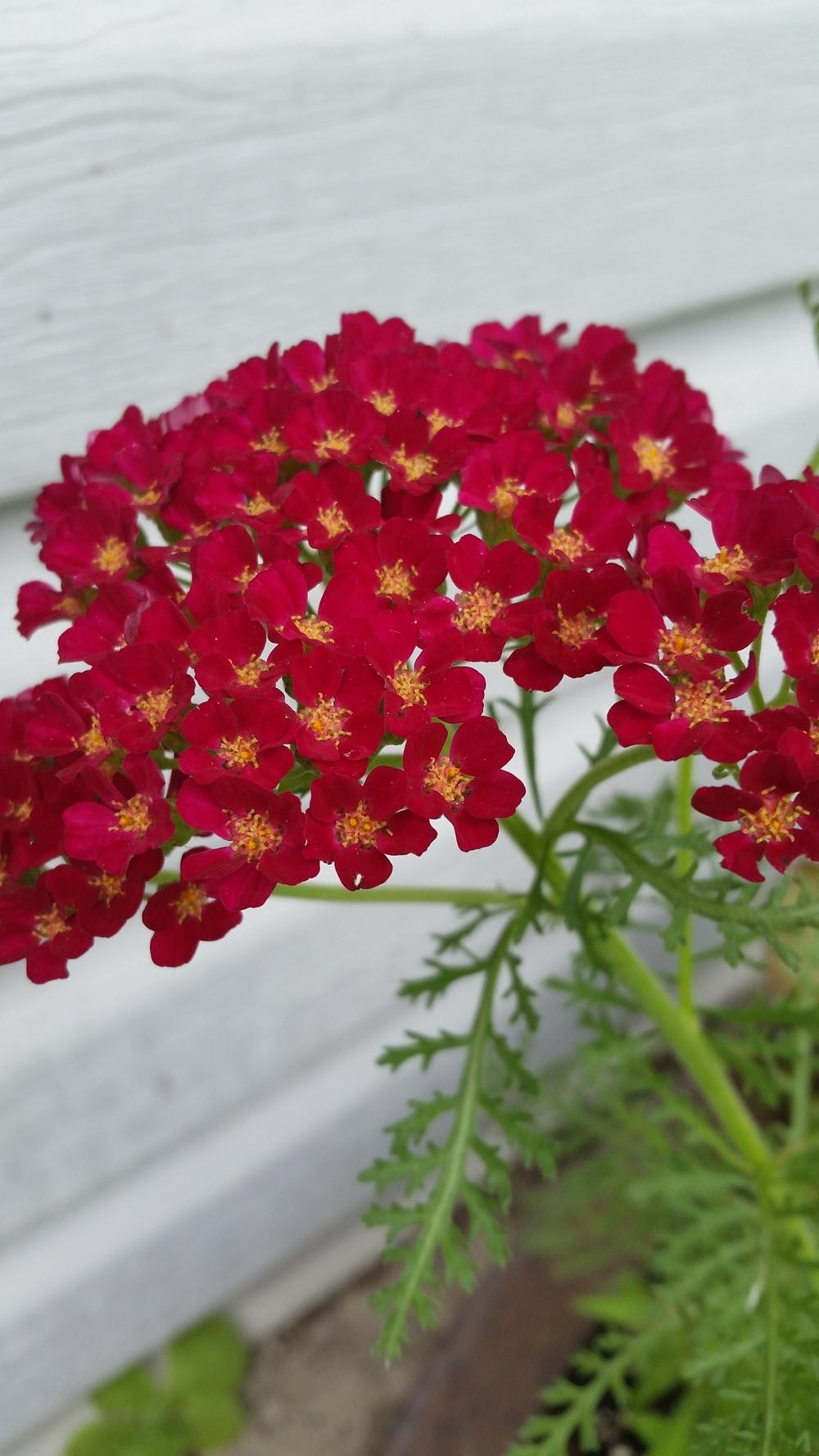 Photo of Yarrow (Achillea millefolium 'Paprika') uploaded by tugg
