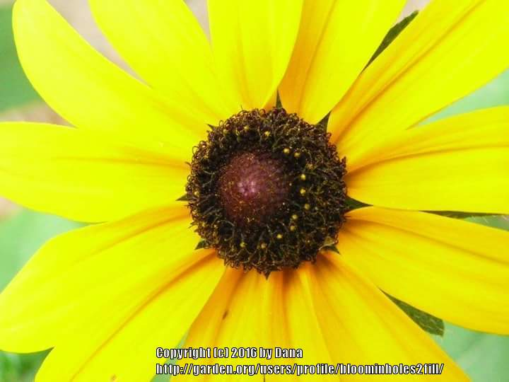 Photo of Black Eyed Susans (Rudbeckia) uploaded by bloominholes2fill
