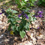 Location: Lutz, FLDate: 2016-04-25Newly planted in the butterfly garden