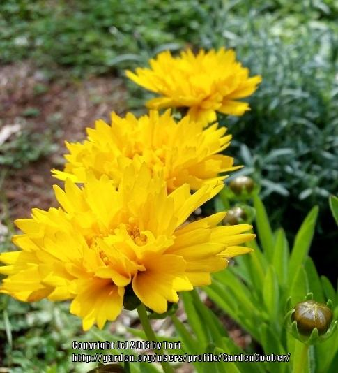 Photo of Large-flowered Tickseed (Coreopsis grandiflora 'Early Sunrise') uploaded by GardenGoober