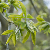Location: Oxfordshire, EnglandDate: 2016-04-26emerging leaves and racemes
