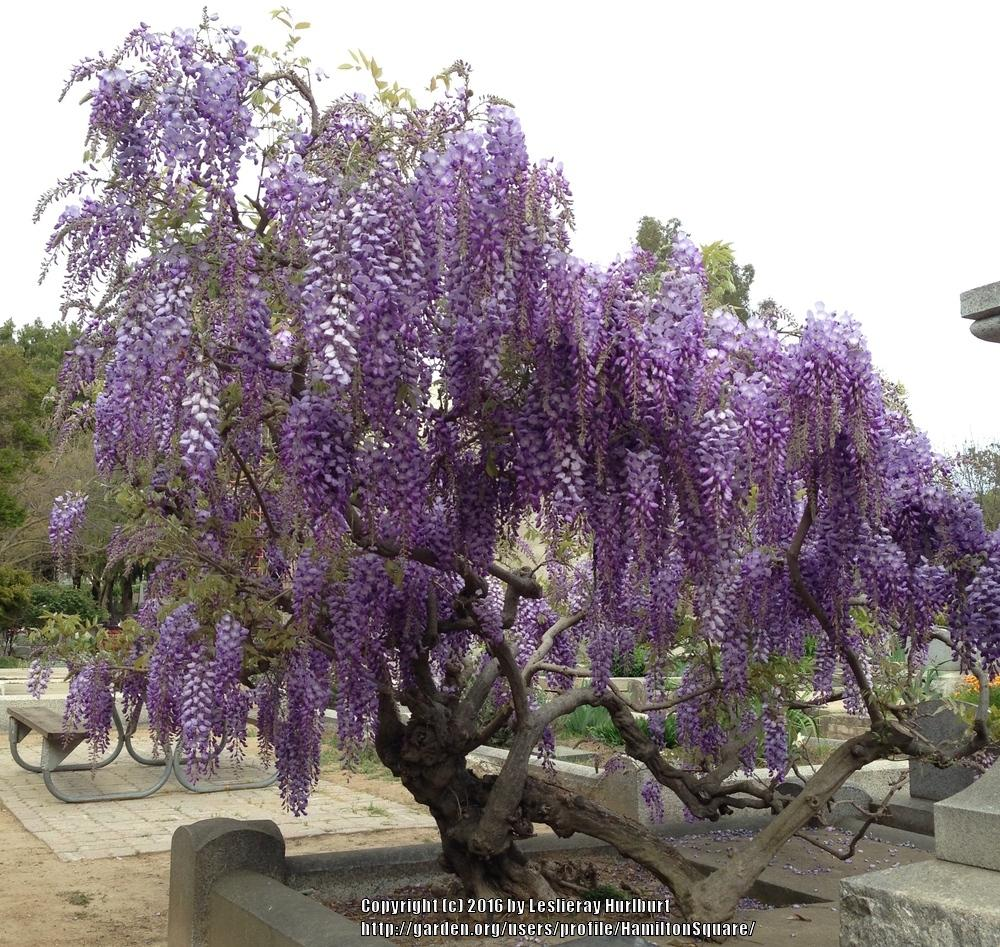 [wisteria tree photos] - 28 images - wallpaper wisteria tree is extreem beauty of nature, prune ...