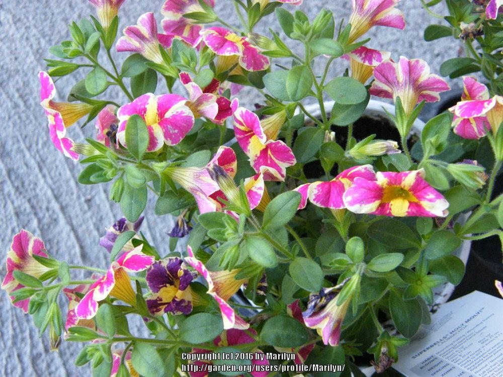 photo of the entire plant of million bells calibrachoa superbells holy moly posted by. Black Bedroom Furniture Sets. Home Design Ideas