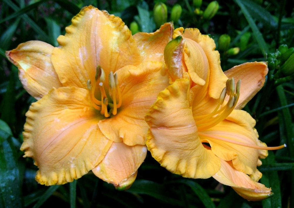 Photo of Daylily (Hemerocallis 'Pure and Simple') uploaded by Sscape
