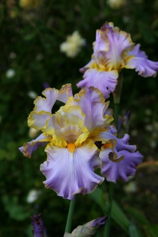 Photo of Tall Bearded Iris (Iris 'All About Spring') uploaded by Calif_Sue