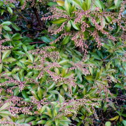 Photo of Lily Of The Valley Bush (Pieris 'Forest Flame')