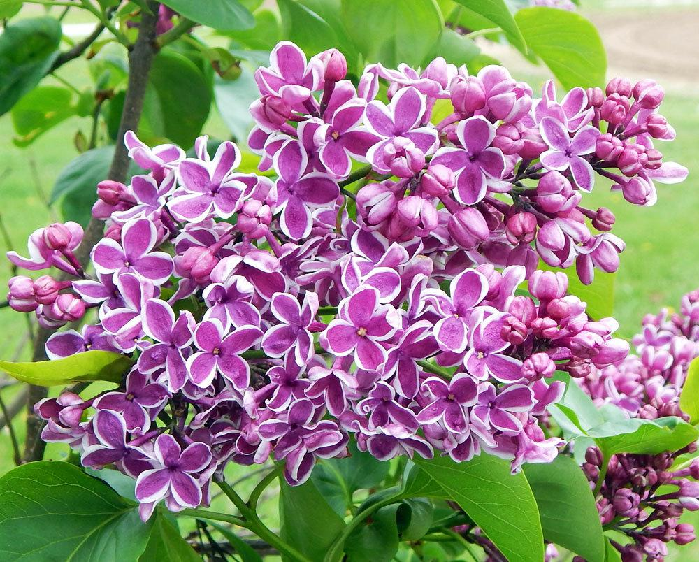 lilac bush facts home design