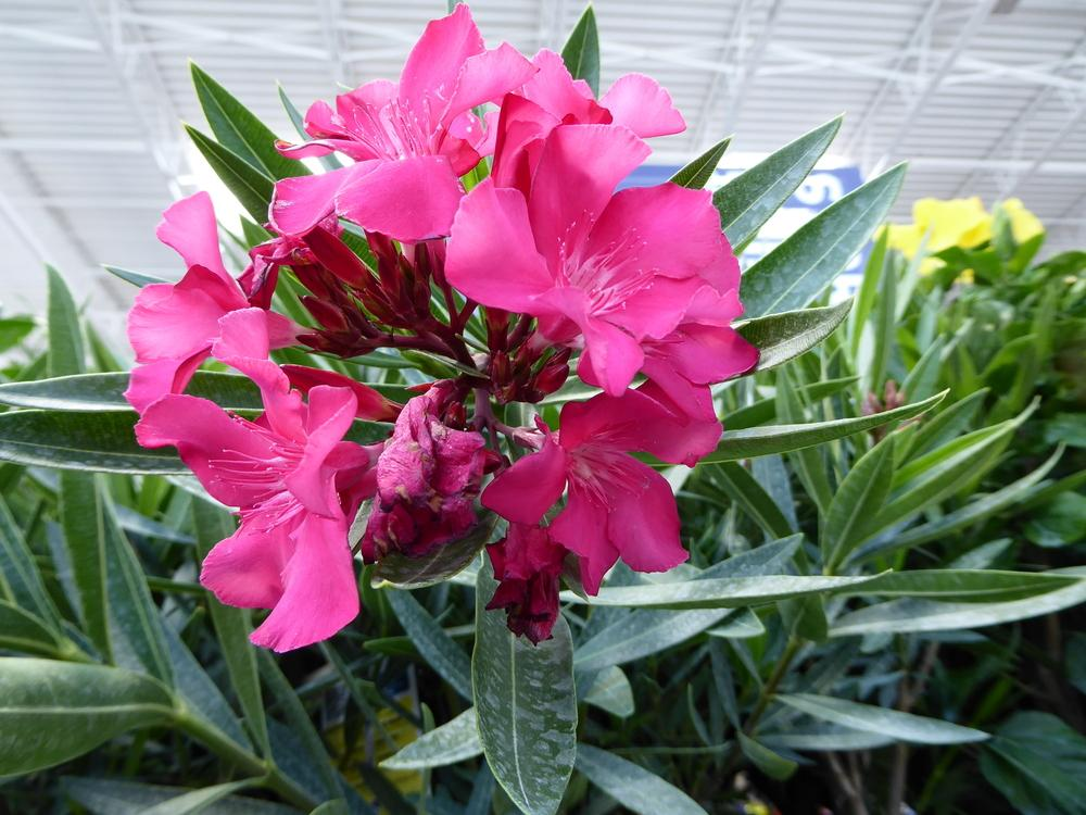 Oleanders plant care and collection of varieties garden add or edit informational text about this plant mightylinksfo Gallery