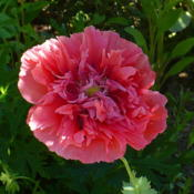 Location: Nora's Garden - Castlegar BCDate: 2015-06-20 10:33 am. So many variations in this kind of poppy.
