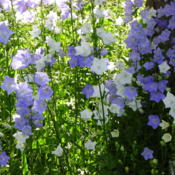 Location: Riverview, Robson, B.C.Date: 2005-06-21  6:30 am.  Gorgeous white or blue blossoms.Keep deadheading - th