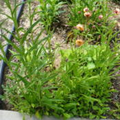 Location: Nora's Garden - Castlegar BCDate: 2016-04-30 12:53 pm. Leaf stalks rise up from the base. Geum 'Cosmopolitan'