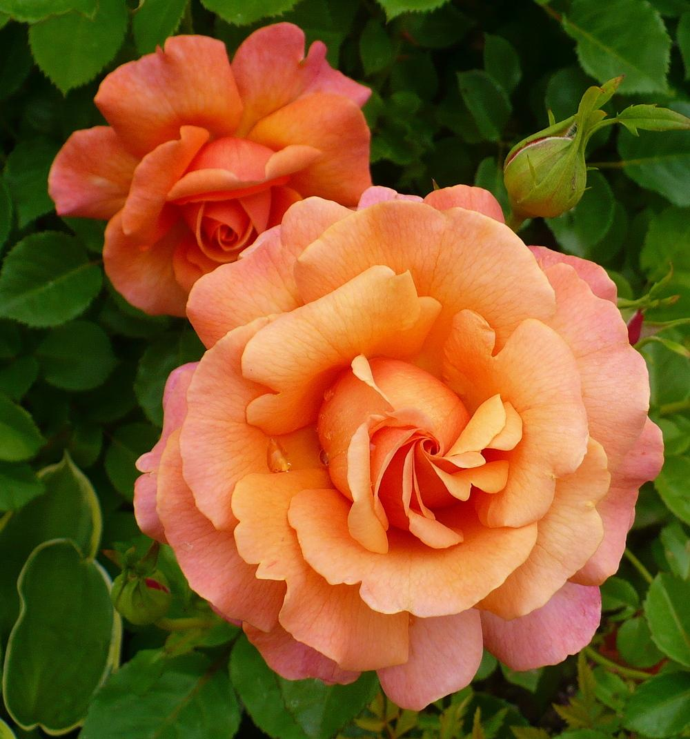 Photo of Rose (Rosa 'Easy Does It') uploaded by HemNorth