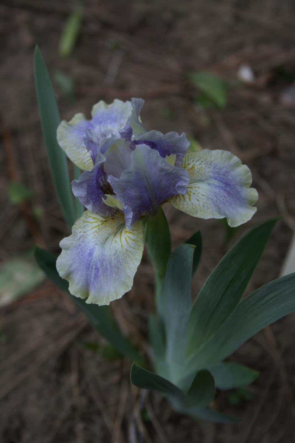 Photo of Standard Dwarf Bearded Iris (Iris 'Summoned Spirit') uploaded by touchofsky