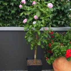 Making Your Own Standard Roses