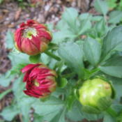 "Location: Concord, NC zone 7Date: 2016-05-02Tag just says ""Red Dahlia""!"