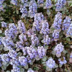 Photo of Bugleweed (Ajuga reptans Black Scallop™)