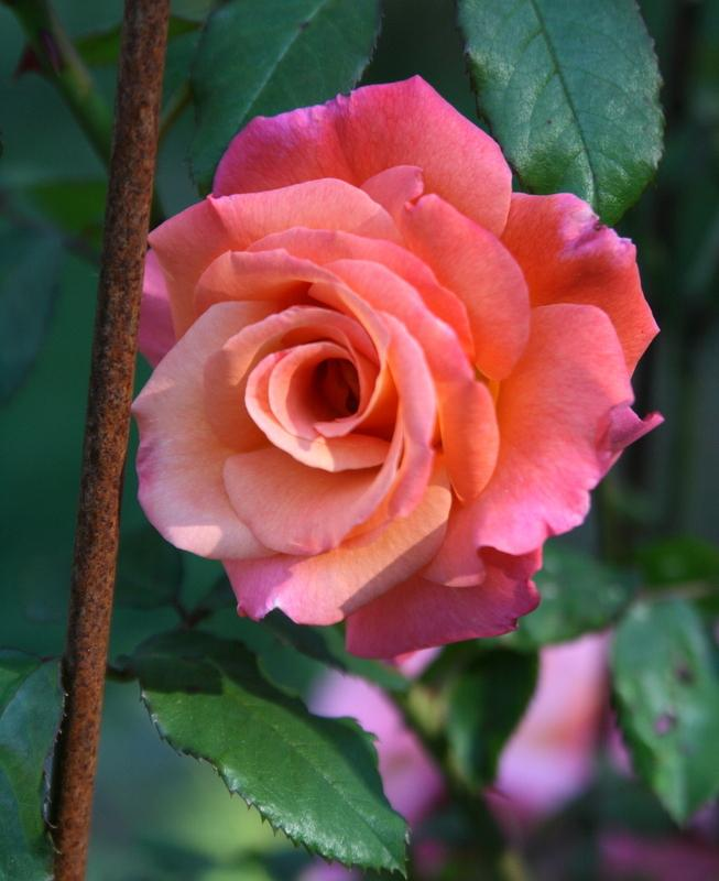Photo of Rose (Rosa 'Freisinger Morgenrote') uploaded by Calif_Sue