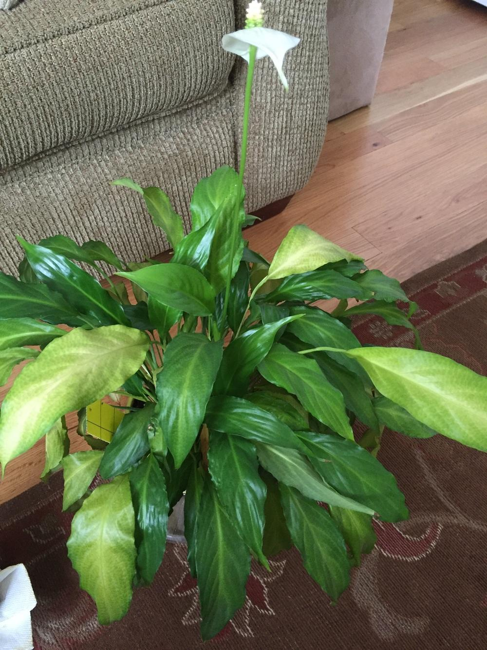 houseplants forum peace lily turning yellow. Black Bedroom Furniture Sets. Home Design Ideas