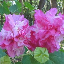 Photo of Confederate Rose (Hibiscus mutabilis)