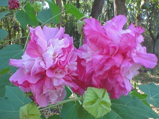 Photo of Confederate Rose (Hibiscus mutabilis) uploaded by Kabby
