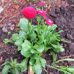 Photo of English Daisy (Bellis perennis 'Tasso Red')
