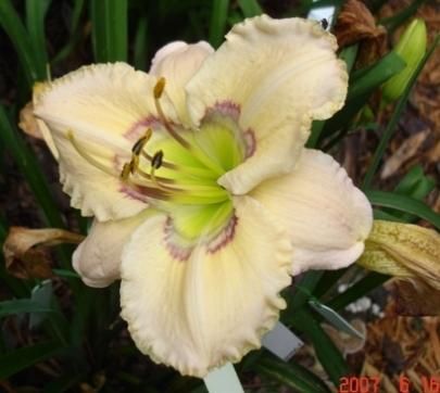 Photo of Daylily (Hemerocallis 'Reflections in Time') uploaded by Sscape